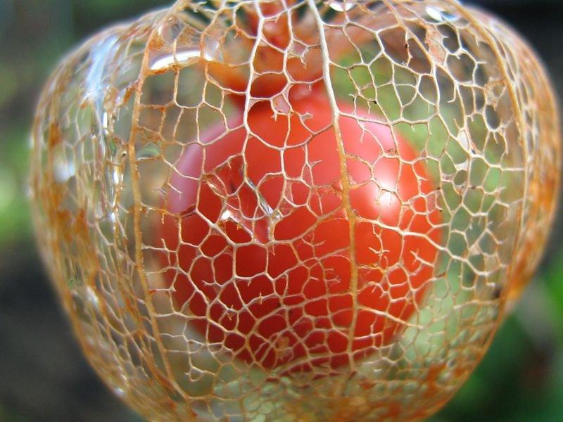 Herbst Physalis