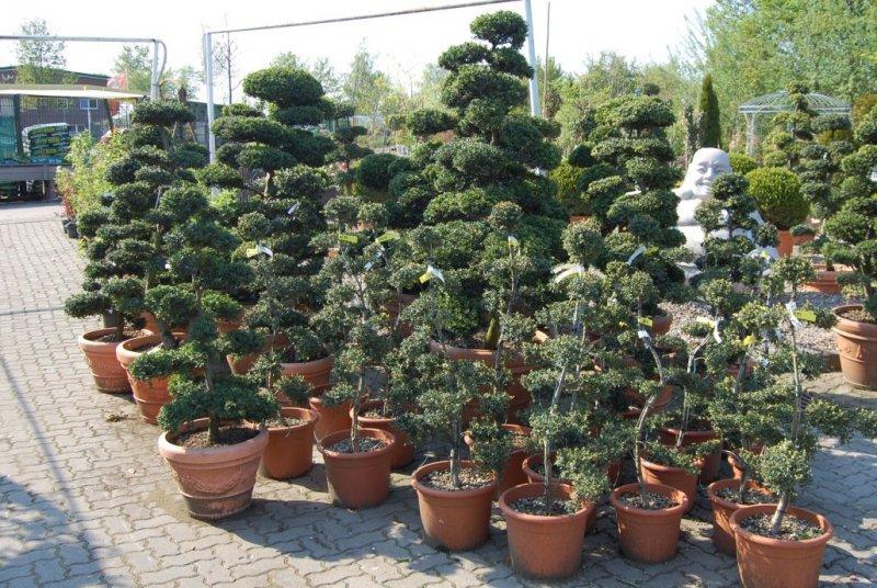 Leihpflanzen Bonsai