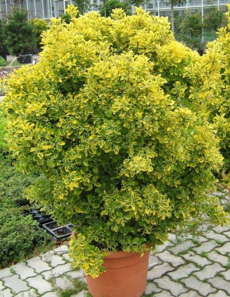 Leihpflanzen Euonymus Busch