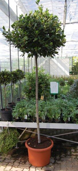 Leihpflanzen Gewürzlorbeer Stamm
