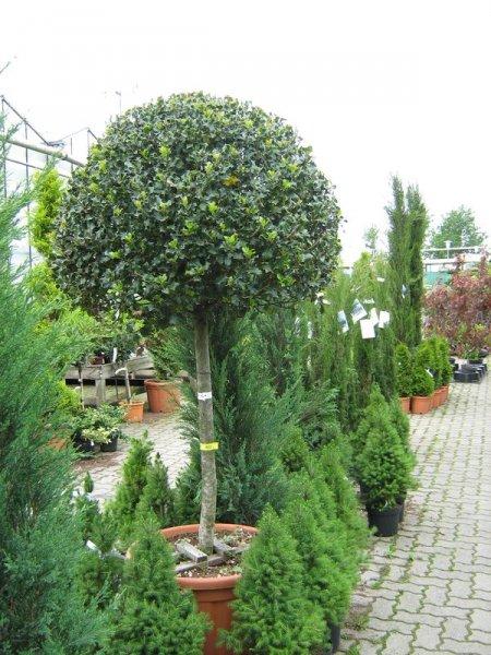 Leihpflanzen Ilex Stamm