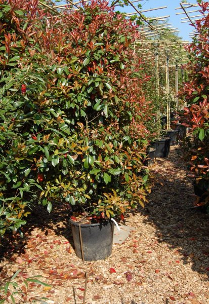 Leihpflanzen Photinia Busch