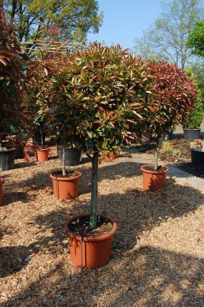 Leihpflanzen Photinia Stamm klein