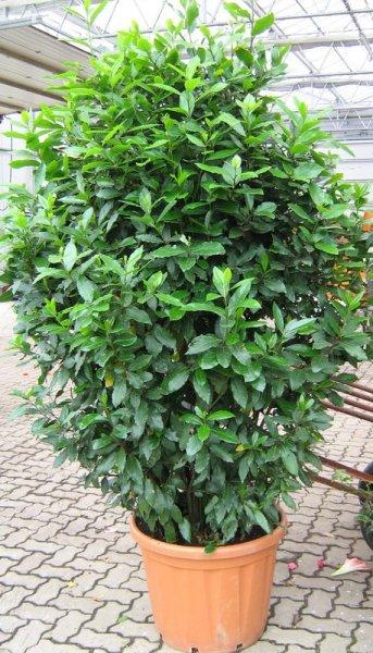 Leihpflanzen Gewürzlorbeer Busch