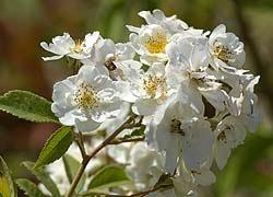 Oscorna Ziergarten Bild Rose