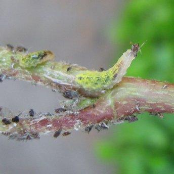 Schwebfliegenlarve beim Fressen