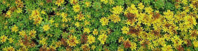 oleander wie weit zurückschneiden