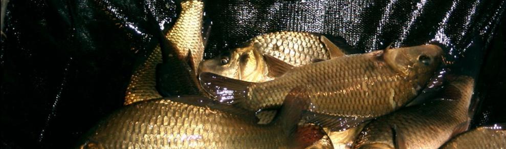 Fischzucht kemnitz in aukrug schleswig holstein arten for Gartenteichfische arten